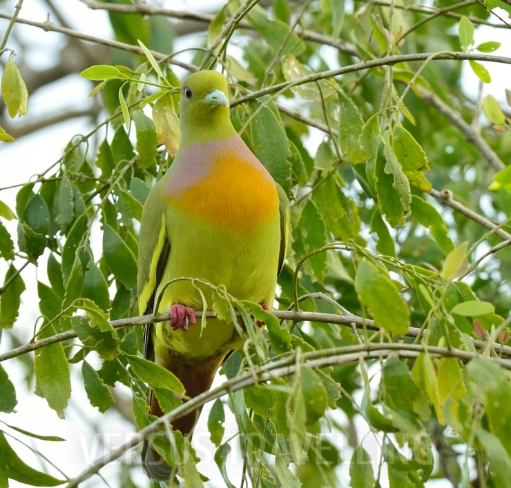Оrange-breasted green pigeon